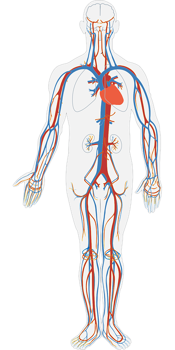 Photo système cardiovasculaire